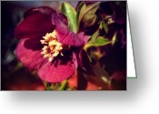 Stamen Greeting Cards - Burgundy Hellebore Flower Greeting Card by Mary Machare