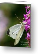 White And Purple Wings Greeting Cards - Cabbage White Butterfly  Greeting Card by Michael P Ray