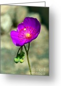 Gwyn Newcombe Greeting Cards - Calandrinia Grandiflora 1 Greeting Card by Gwyn Newcombe