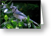 Bluejay Birds Greeting Cards - Cat Chasing Blue Jay Greeting Card by Francie Davis