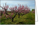 Orchards Greeting Cards - Cherry Trees Greeting Card by Michelle Calkins