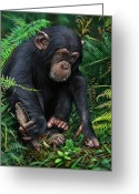 Chimpanzee Greeting Cards - Chimpanzee 2 Greeting Card by Owen Bell