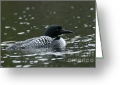 Larry Ricker Greeting Cards - Common Loon 3 Greeting Card by Larry Ricker