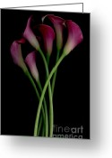 Calla Lily Greeting Cards - Dance of The Calla Lily Greeting Card by Nancy TeWinkel Lauren
