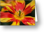 Jenny Rainbow Greeting Cards - Dappled Tulip 1. The Tulips of Holland Greeting Card by Jenny Rainbow