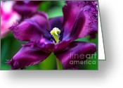 Jenny Rainbow Greeting Cards - Dark Purple Parrot Tulip. The Tulips of Holland Greeting Card by Jenny Rainbow