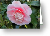 Theaceae Greeting Cards - Double Pink Camilla Flower Greeting Card by Valerie Garner