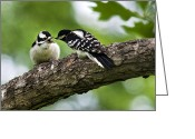 Baby Birds Greeting Cards - Downy Woodpecker Greeting Card by Christina Rollo