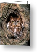 Morph Photo Greeting Cards - Eastern Screech Owl - FS000810 Greeting Card by Daniel Dempster