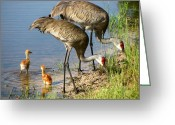Cranes In Florida Greeting Cards - Enjoing The Water Greeting Card by Zulfiya Stromberg