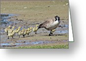 Canada Goose Greeting Cards - Family Outing Greeting Card by Randy Hall