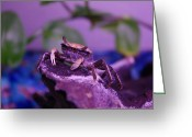 Fiddler Crab Greeting Cards - Fiddler Crab Greeting Card by Michelle Love