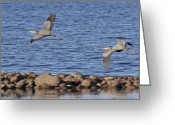 Heron.birds Greeting Cards - Follow the Leader Greeting Card by Randy Hall
