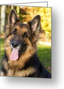 Yellow Dog Greeting Cards - german Shepherd dog in the garden Greeting Card by Fizzy Image