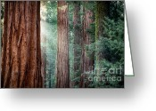 Log Greeting Cards - Giant Sequoias in early morning light Greeting Card by Jane Rix