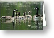 Larry Ricker Greeting Cards - Goose Family Greeting Card by Larry Ricker