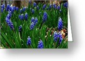 Julie Dant Greeting Cards - Grape Hyacinths Greeting Card by Julie Dant