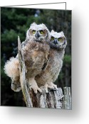 Barbara Mcmahon Greeting Cards - Great Horned Owlets Greeting Card by Barbara McMahon