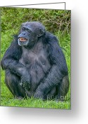 Chimpanzee Greeting Cards - Grinning Chimp Greeting Card by Chris Thaxter
