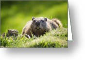 Groundhog Greeting Cards - Groundhog Day Greeting Card by Vicki Jauron