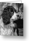 English Springer Spaniel Greeting Cards - Growing Up monochrome Greeting Card by Steve Harrington
