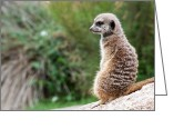 Standing Meerkat Photo Greeting Cards - Guard Duty Greeting Card by Ray Warren