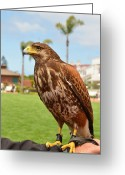 Bird Of Prey Digital Art Greeting Cards - Harris Hawk at Hotel del Coronado  Greeting Card by Eva Kaufman