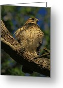 Deborah Benoit Greeting Cards - Hawk in Soft Light Greeting Card by Deborah Benoit