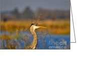 Al Powell Photography Usa Greeting Cards - Hawking Heron Greeting Card by Al Powell Photography USA