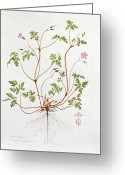Pink Flower Branch Painting Greeting Cards - Herb Robert Greeting Card by Diana Everett