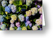 Purples Greeting Cards - Hydrangea Flowers on The Cape Greeting Card by Michelle WiaHappy rda