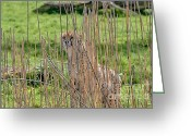 Acinonyx Greeting Cards - I See You Greeting Card by Chris Thaxter