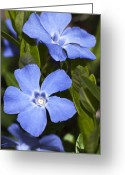 Blue Flowers Digital Art Greeting Cards - Indigo Periwinkle Greeting Card by Christina Rollo
