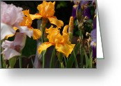 Mick Anderson Greeting Cards - Iris Profusion Greeting Card by Mick Anderson