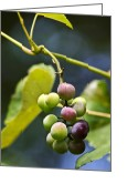 Wine Art Digital Art Greeting Cards - Italian Grapes Greeting Card by Christina Rollo