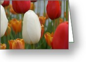 Brian Jones Greeting Cards - Ivory Floradale Darwin Hybrid Tulip Greeting Card by Brian Jones