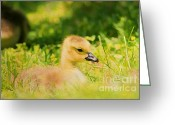 Duckling Greeting Cards - Just a Baby Greeting Card by Darren Fisher