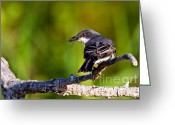 Larry Ricker Greeting Cards - Kingbird with catch. Greeting Card by Larry Ricker