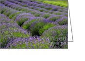 Carol Groenen Greeting Cards - Lavender Rows Greeting Card by Carol Groenen