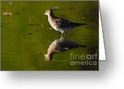 Larry Ricker Greeting Cards - Lesser Yellowlegs Greeting Card by Larry Ricker