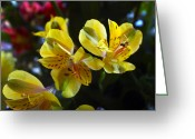 Lilies Greeting Cards - Lily of the Incas Greeting Card by Kurt Van Wagner