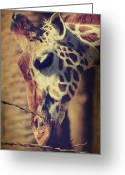 Giraffe Greeting Cards - Lunchtime Twigs Greeting Card by Laurie Search