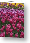 Brian Jones Greeting Cards - Magenta Lily Greeting Card by Brian Jones