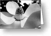 Magnolia Grandiflora Greeting Cards - Magnificent Magnolia Greeting Card by Dawn  Gagnon