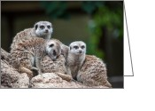Standing Meerkat Photo Greeting Cards - Meerkat Family Greeting Card by Ray Warren