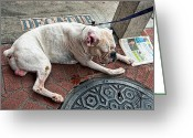 French Bulldog Prints Greeting Cards - Newsworthy Dog in French Quarter Greeting Card by Kathleen K Parker