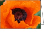 Elizabeth Rose Greeting Cards - Orange Poppy Greeting Card by Elizabeth Rose