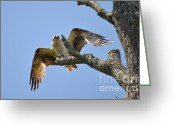Kathy Gibbons Greeting Cards - Osprey  Greeting Card by Kathy Gibbons