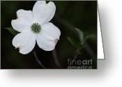 Barbara Mcmahon Greeting Cards - Pagoda Dogwood At Dusk Greeting Card by Barbara McMahon