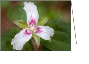 Forest Floor Greeting Cards - Painted Trillium - Woodland flower Greeting Card by Thomas Schoeller
